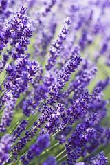 lavender flowers © Miroslawa Drozdowski
