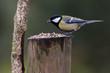 Obrazy na płótnie, fototapety, zdjęcia, fotoobrazy drukowane : Carbonero bird in Spain. Parus major