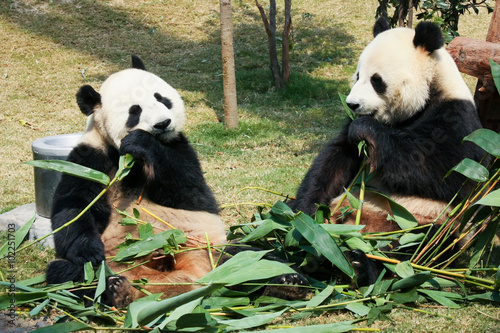 Fotobehang Panda Two pandas eating bamboo