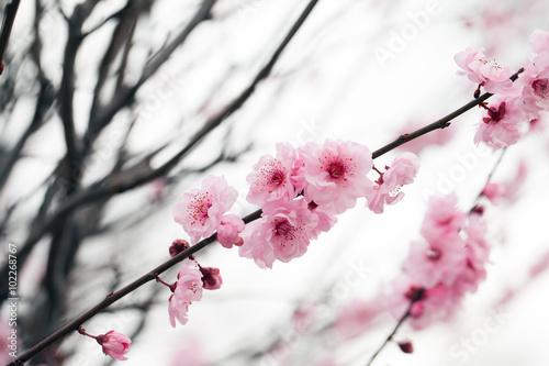 Poster Cherry tree blossom