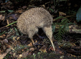 New Zealand, a little spotted kiwi bird. - 102271954