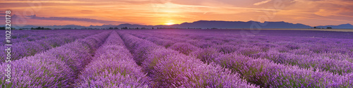 Fototapeta Sunrise over fields of lavender in the Provence, France