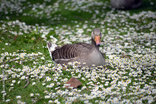 Poster duck among daisies in fota wildlife park near cobh