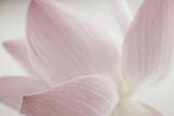 Fototapety pink lotus in soft color and blur style for background