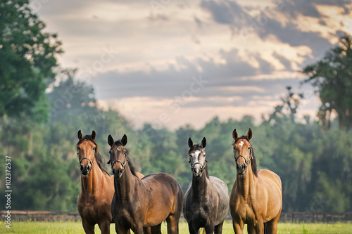 Zdjęcia na płótnie, fototapety, obrazy : Four horses equine friends herd wearing halters outside in a paddock field meadow with a beautiful sky waiting watching alert listening