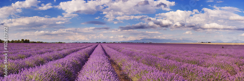 Fototapeta Blooming fields of lavender in the Provence, southern France