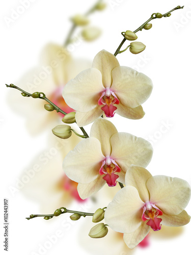 Obraz Yellow orchid. Isolated