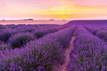Beautiful landscape of lavender fields at sunset in Provence