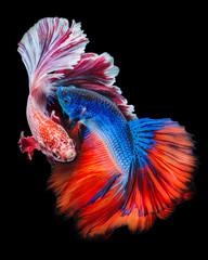Twain Betta fish © AEyZRiO