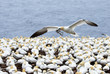 Northern Gannet in flight with nesting materials in beak, flying over the seabird colony at Bonaventure Island, Perce Rock, Quebec, Canada