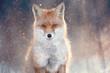 red fox in winter forest Pretty