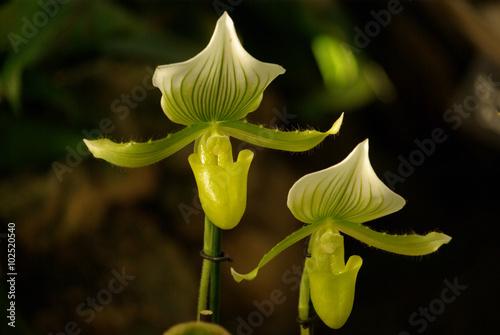 foto orchidee bull 52 - photo #30