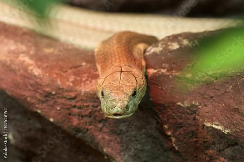 Poster King Cobra (Ophiophagus hannah)