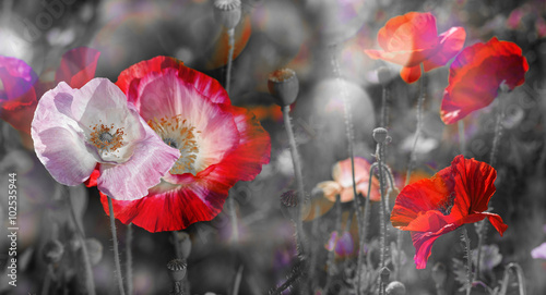 summer meadow with red poppies - 102535944