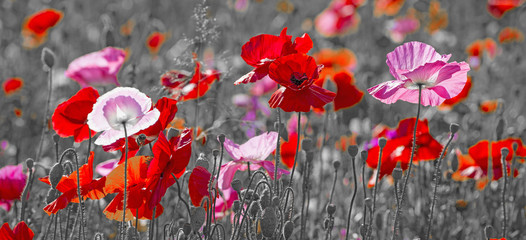 summer meadow with red poppies © Vera Kuttelvaserova