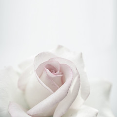 sweet roses in soft color and vintage style