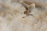 Fototapety Hunting Barn Owl in morning nice light