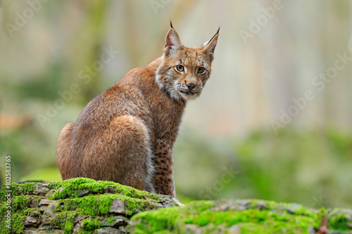 Poster Eurasian Lynx, wild cat sitting on the orange leaves in the forest habitat