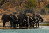 A herd of African elephants drinking at a waterhole lifting their trunks, Chobe National park, Botswana, Africa
