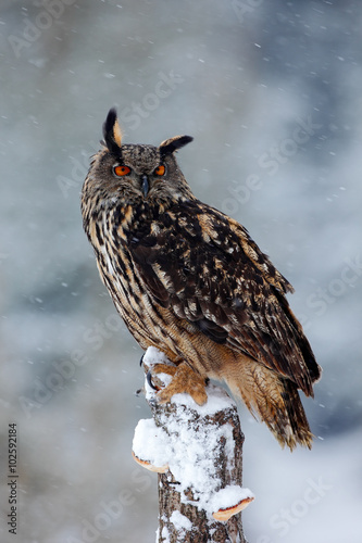 Plexiglas Eagle Big Eurasian Eagle Owl with snowy stump with snow flake during winter