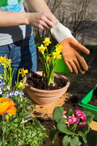 Frühling. Einpflanzen von Frühlingsblumen im Garten. Canvas Print