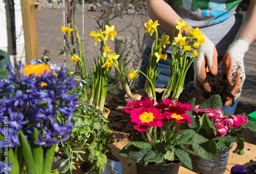 Frühling. Einpflanzen von Frühlingsblumen im Garten. Poster