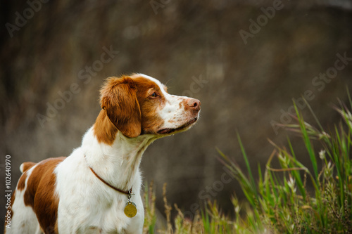 Brittany Spaniel dog in natural environment field