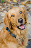 Happy golden retriever lab smiling at camera