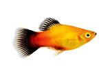 Fototapety sunburst platy male Xiphophorus maculatus tropical aquarium fish