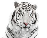 Elegant white tiger