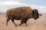 American Bison walking, Maxwell Wildlife Preserve, Kansas