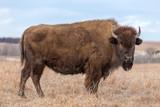 American Bison, Maxwell Wildlife Preserve, Kansas