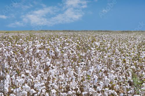 Cotton Farm Poster
