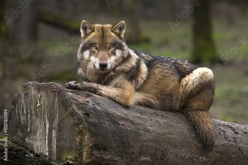 Aluminium Wolf Le loup gris