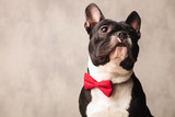 french bulldog wearing a red bowtie while posing looking up