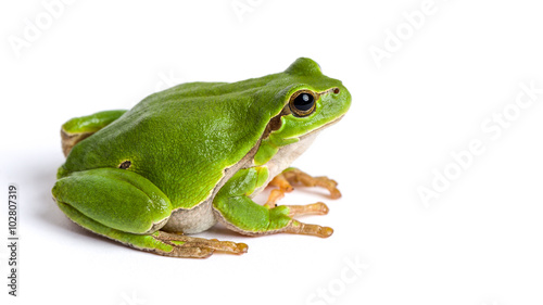 Aluminium Kikker European green tree frog sitting isolated on white