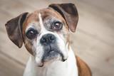 Old Boxer Dog - 102829159