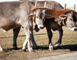 team of oxen