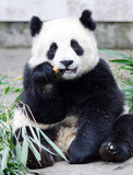 Giant Panda Cub Eating Bamboo, sitting pose, Chengdu, China