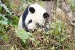 Giant Panda Sleeping in the Forest, Chengdu, China