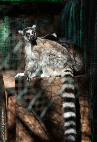 Poster Ring-tailed Lemur (Lemur catta) looks out with big, bright orange eyes and watches from a branch in Madagascar