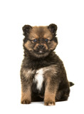 Cute sitting pomsky a mix between husky and a pomeranian puppy dog isolated on a white background