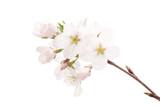 桜のクローズ�...