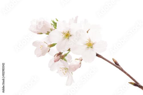 桜のクローズアップ Poster