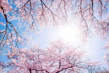 Rosa Kirschblüten im Sonnenlicht
