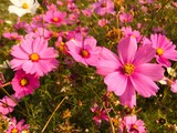selective focus of pink cosmos