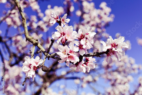 almond tree in full bloom Poster