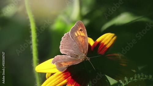 Keuken foto achterwand Vlinders in Grunge Butterfly on a Flower