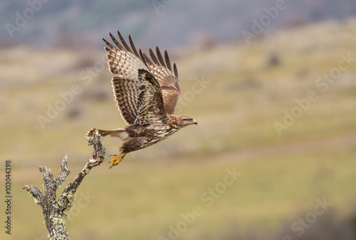 Poster Common Buzzard (Buteo buteo)