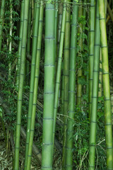 Lush green bamboo © enjoynz